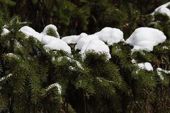 Vintergrönt träd ettträd Arkivbilder