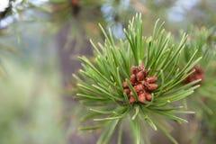 Vintergrönt träd i Colorado royaltyfri fotografi