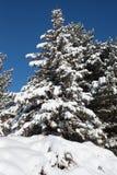 Vintergrönt träd med snö på lövruskor royaltyfri fotografi