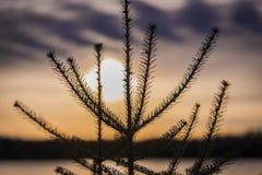 Vintergrönt träd på solnedgången i nordliga Wisconsin royaltyfria bilder