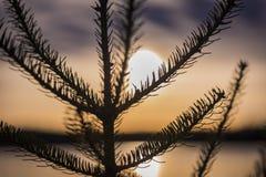 Vintergrönt träd på solnedgången i nordliga Wisconsin royaltyfria foton