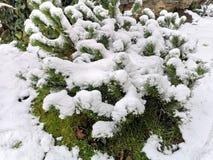 Vintergr?n buxussempervirensv?xt som t?ckas av sn? royaltyfri bild