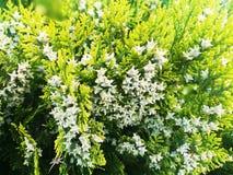 Vintergr?nt dekorativt grantr?d blomning arkivfoto