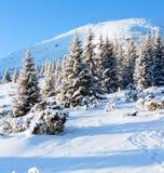 Vintergran i första morgonsunbeams Royaltyfria Foton