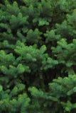vintergrön tree Arkivfoton