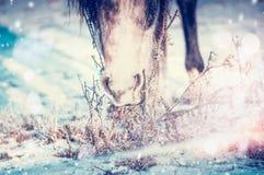 Vinterhäst som äter gräs under snön royaltyfria foton