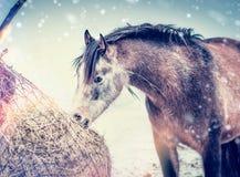 Vinterhästen som äter hö från, förtjänar på frostig naturbakgrund royaltyfri foto