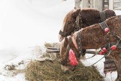 Vinterhästsnö två hästar äter hö arkivfoto