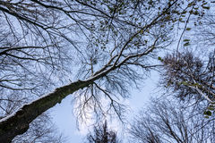 Vinterhimmel i trädfilialer Arkivbild