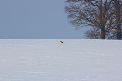 Vinterintryck med räven Fotografering för Bildbyråer