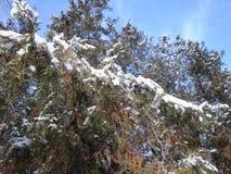 Vinterjulgranar, granar De står med snö, som glittrar i solen, på visare White på green arkivbild