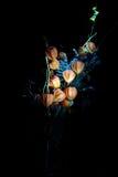 Vinterkörsbär & lavendel arkivfoton