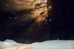 Vinterlandskap av strålarna för sol` s till och med de frostade filialerna träden i pinjeskog Fotografering för Bildbyråer