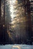 Vinterlandskap av strålarna för sol` s till och med de frostade filialerna träden i pinjeskog Royaltyfria Bilder