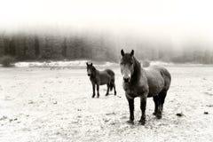 Vinterlandskap med att se för två hästar svart white Arkivbilder