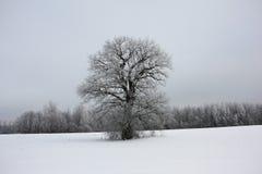 Vinterlandskap med en ensam ek Fotografering för Bildbyråer