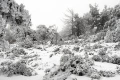 Vinterlandskap med julgranar royaltyfria bilder