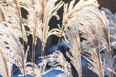 Vintermorgon med torrt gräs arkivbild