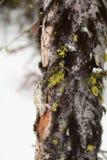 Vintermossa Arkivbilder