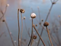 Vintern blommar i vattnet Royaltyfri Bild