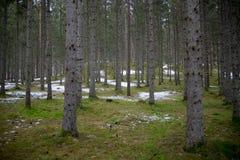 Vintern förlorar dess fattande över skogen royaltyfria bilder