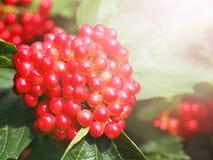 Vintern fryst viburnumguelder steg Röda bär av viburnumen Röd tofsguelder steg Arkivbild