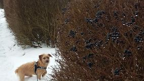 Vintern går med min hund royaltyfri fotografi