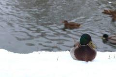 Vintern parkerar anddammet Royaltyfri Fotografi