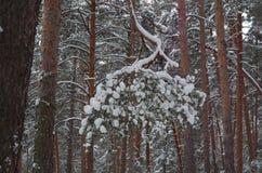 Vintern sörjer filialen under snö Royaltyfri Fotografi