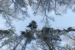 Vintern sörjer träd i snö ner upp sikt Sikt av den stora trädformen ner till trädöverkanten i en bakgrund för blå himmel Royaltyfri Bild