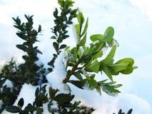 Vinterordningen av grön buxbom förgrena sig i snön Royaltyfri Fotografi