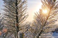 Vinterpälsfodra-tree Royaltyfri Foto