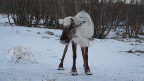 Vinterplats: en ren på snön på en blåsig dag Arkivfoto