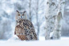 Vinterplats med ugglan Stor östlig Siberian Eagle Owl, Bubobubosibiricus som sitter på hög med insnöat skogbjörkträdet royaltyfri fotografi