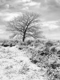 Vinterplatsen med det skalliga trädet i snö täckte hed-land, Regte Heide, Goirle, Nederländerna arkivbild