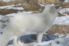 Vinterprofil för arktisk räv Royaltyfri Bild