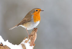 Vinterrödhakefågel Royaltyfri Foto