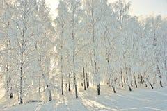 Vintersikt med frostbjörkar Royaltyfri Fotografi