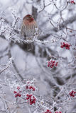 Vintersittpinne Arkivfoton