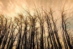 Vinterskog. Blasten av träden i solnedgång Arkivbilder