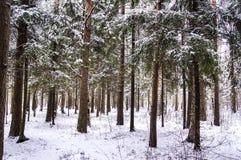 Vinterskog det snöig landskapet skogen sörjer royaltyfri foto
