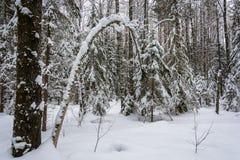 Vinterskog efter ett tungt snöfall arkivfoton