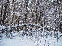 Vinterskog efter tungt snöfall, Novosibirsk, Ryssland royaltyfri bild