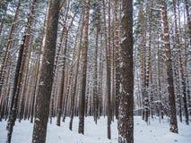 Vinterskog efter tungt snöfall, Novosibirsk, Ryssland royaltyfri fotografi