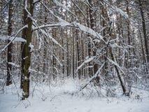 Vinterskog efter tungt snöfall, Novosibirsk, Ryssland arkivbilder