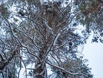 Vinterskog efter tungt snöfall, Novosibirsk, Ryssland arkivbild