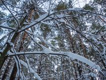 Vinterskog efter tungt snöfall, Novosibirsk, Ryssland royaltyfri foto