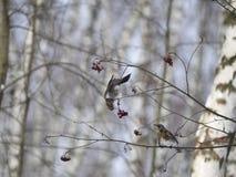 Vinterskog! Fåglar som pickar bär! royaltyfri bild