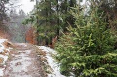 Vinterskog i Carpathians Fotografering för Bildbyråer