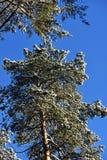 Vinterskog i en solig dag Arkivfoto